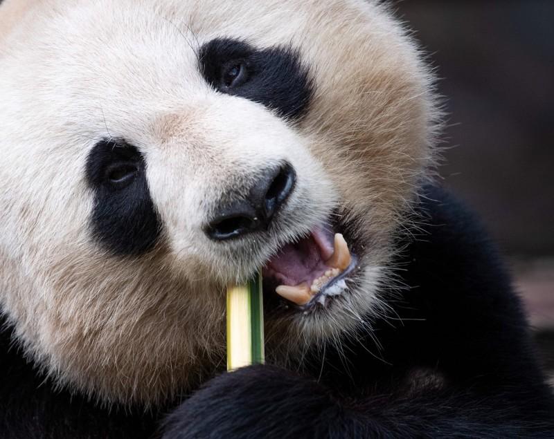 美國研究貓熊的生物學家比爾·麥克西亞(Steve McShea)指出,「貓熊會咬碎骨頭,不是啃啃而已」。(法新社)