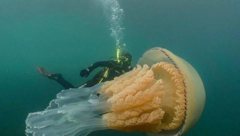 達莉表示,她知道桶狀水母屬於大型水母,但在過去的潛水經驗裡,從未目睹過這種體型的桶狀水母。(圖擷取自YouTube)