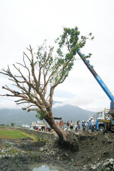 金城武樹由吊車將其扶正。(記者王秀亭攝)