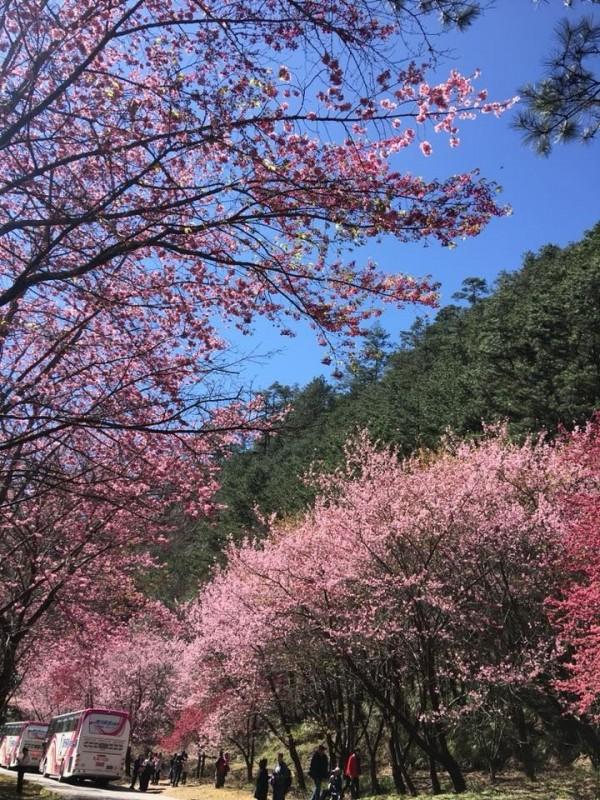 武陵櫻花季開跑,公路總局針對所有上山遊覽車進行安檢,以保障賞櫻遊客的安全,圖為大年初四武陵櫻花美景。(讀者李淳淨提供)
