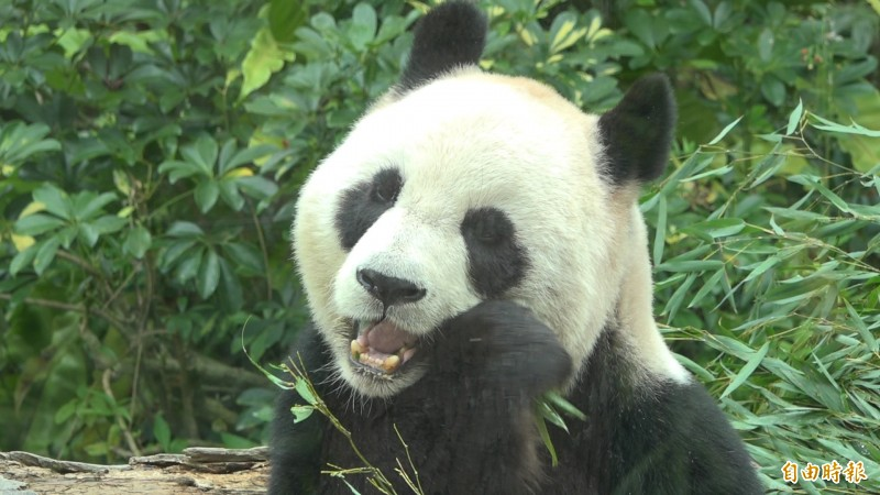 大貓熊每天都要吃到五餐,平均下來一天就要吃掉30公斤的竹葉。(記者張家寶攝)