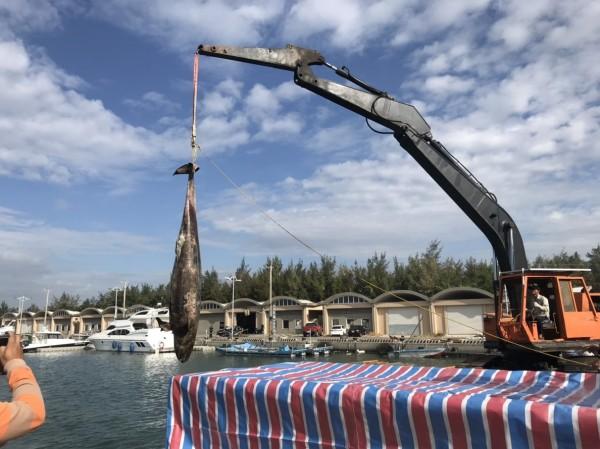 嘉義縣救難協會今天順利以水上摩托車載短肢領航鯨到布袋第三漁港,吊起載運到成功大學,交給專家研究。(嘉義縣救難協會提供)