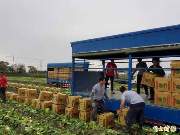 氣候溫暖蔬菜成長快速,農民搶收田間農作物,卻因北農休市無處可賣。(記者廖淑玲攝)