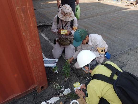 「紅火蟻」日前首次在日本兵庫縣尼崎市一處貨櫃保管場現蹤發現一整窩的紅火蟻,無獨有偶,日本環境省18日又在神戶港發現紅火蟻群。(圖擷取自朝日新聞)
