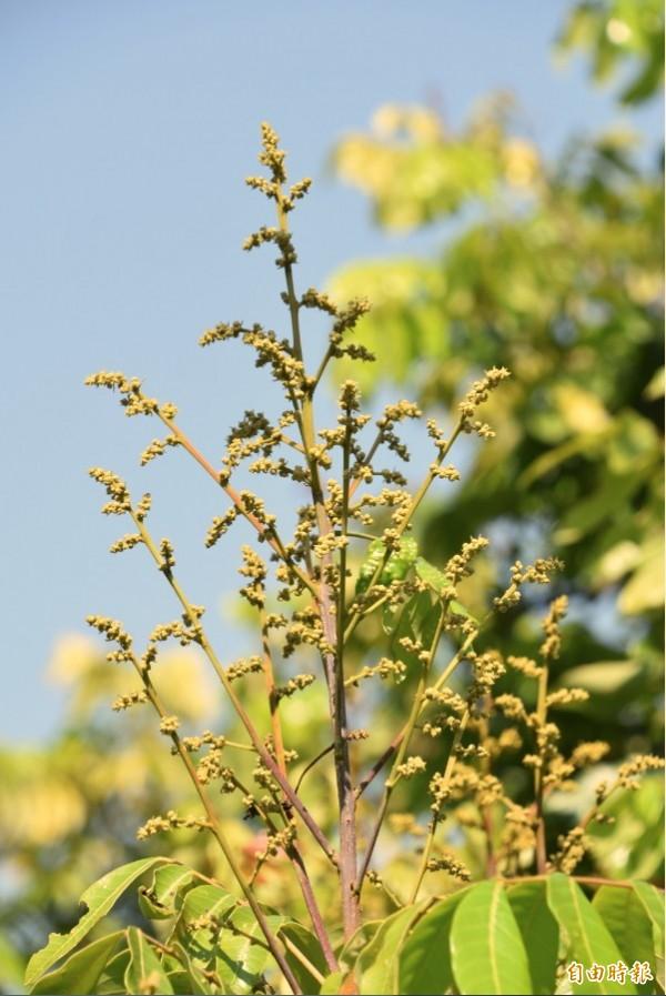 今年氣候異常,南部龍眼蜂蜜生產基地大岡山地區龍眼不是不開花,就是花期嚴重延宕。(記者蘇福男攝)
