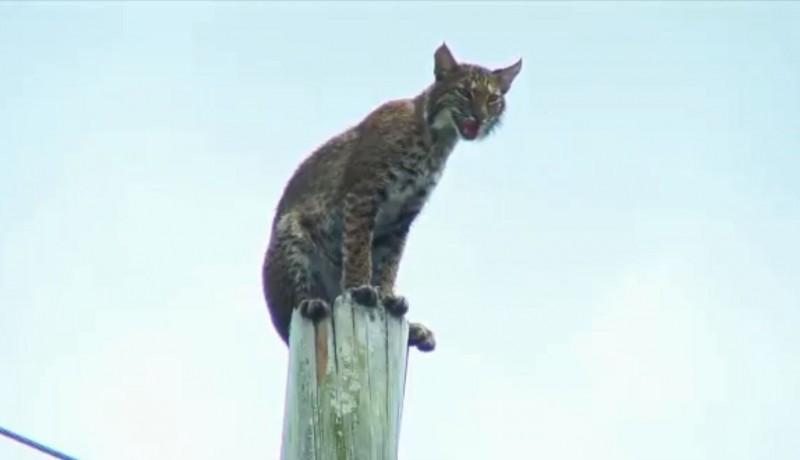 美國佛州電線桿上出現「怪鳥」,工人仔細一看才發現那是隻短尾貓(Bobcat)。(圖擷自@kintarasu推特)