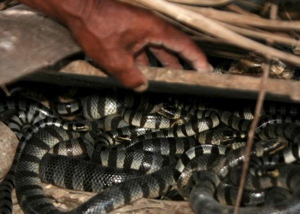 澳洲海洋教育學會教授推測,海蛇當時應是被漁船的拖網拉扯,受到刺激才會採取攻擊咬人,否則海蛇平時並不具有侵略性。(歐新社)