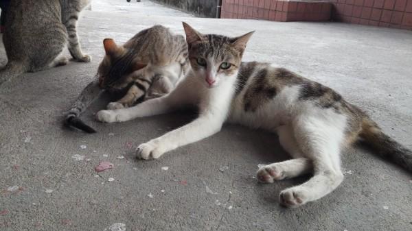 許多狠心飼主把貓咪丟棄在猴硐,卻沒想過牠們可能受同類欺負。(資料照,記者林欣漢攝)