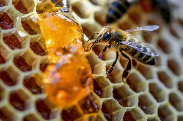 川普政府放寬環境禁令,將對野蜂帶來巨大衝擊。圖為蜜蜂以蜂蜜為食。(歐新社)