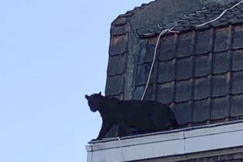 黑豹在屋頂徘徊了一個小時左右。(美聯社)