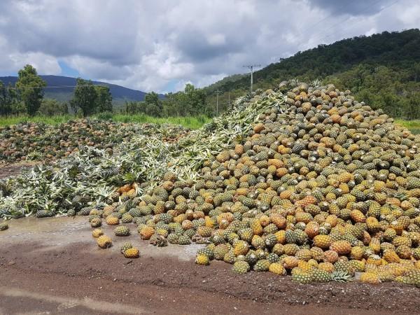 澳洲昆士蘭本季鳳梨生產過剩,果農憂「恐放到爛」。(圖翻攝自「NQ Paradise Pines」臉書粉專)