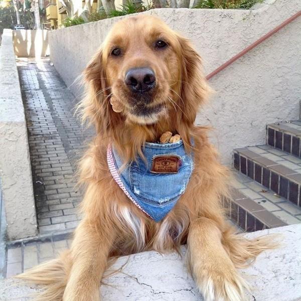 美國加州的大熊市(Big Bear)有隻家喻戶曉的黃金獵犬萊利(Riley)。(圖擷取自IG itsrileysworld)