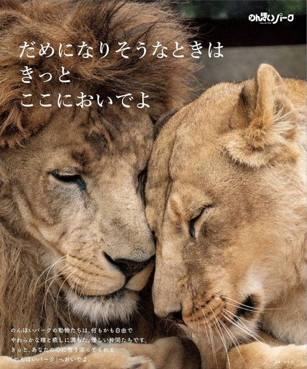 日本愛知縣豐橋綜合動植物公園人氣雄獅哈亞特和小1歲的雌獅奧托總是深情款款,彼此依偎的照片還被做成防治自殺海報。(圖擷自豊橋総合動植物公園推特)