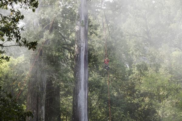台灣杉「三姊妹」分別約有70、60及50公尺高,樹齡推測有800年。(中央社)