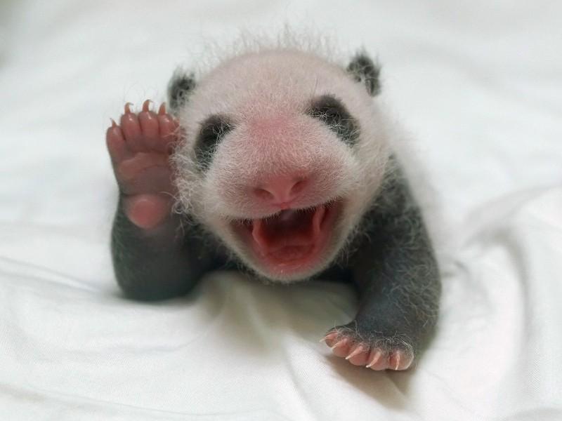 台北市立動物園大貓熊二寶妹(乳名柔柔)今天是25日齡,在保育員協助下,順利重回媽媽「圓圓」懷抱。(圖由台北市立動物園提供)