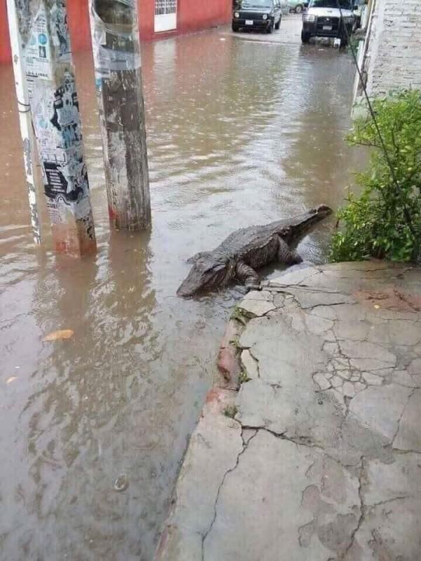 有網友在南台灣淹水之際,貼出1隻鱷魚在淹水道路上的照片,並指出「淹水看到吳郭魚龍膽等養殖魚類不稀奇」,表示是自己看到的。(圖擷取自泰國社群媒體)