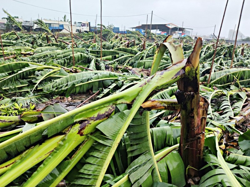 Banana plants lie flattened in a plantation in Taitung County yesterday, after strong winds and heavy rain brought by Tropical Storm Bailu. Photo: CNA