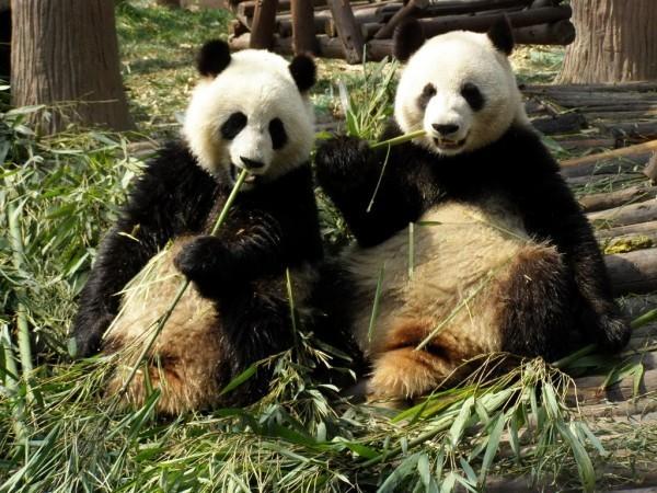 马来西亚首相马哈地近日出面澄清,大熊猫「兴兴」和「靓靓」是中国献给大马的礼物,对两国外交具有意义,不会将它们送走。(图撷取自维基百科)