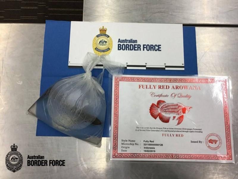 澳洲邊防部隊表示,外來種恐危害本土生物,該條紅龍魚將會被安樂死。(圖擷自Australian Border Force臉書)