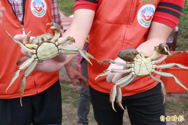 一場蘇迪勒颱風,卻曝露了超強入侵種中國「河蟹」,恐讓台灣陷入生態危機。(資料照,記者鄭鴻達攝)