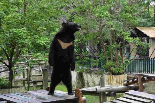 高雄壽山動物園台灣黑熊波比,今日下午從獸欄爬出後跑到安全區域,雖對遊客沒有安全疑慮,園方已用麻醉槍讓牠昏睡。(資料照,觀光局提供)