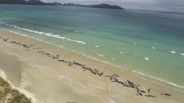 紐西蘭斯圖爾特島(Stewart Island)的沙灘上,共有145隻領航鯨死亡。(法新社)
