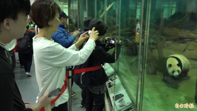 大貓熊在木柵動物園可是人氣王,吸引不少遊客來捕捉牠們的身影。(記者張家寶攝)