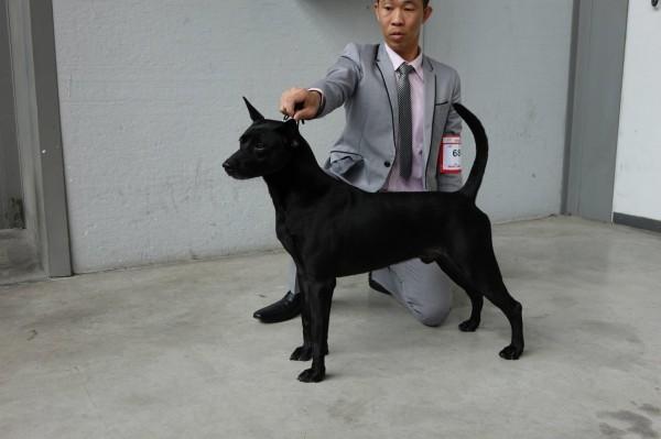 目前經過官方血統認證的台灣犬有6909隻。(圖擷自《台灣畜犬協會Kennel Club of Taiwan》臉書專頁)