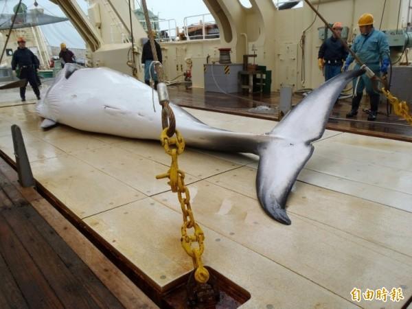 日本為了重啟商業捕鯨,傳出有意要退出國際捕鯨委員會,示意圖與新聞無關。(資料照)