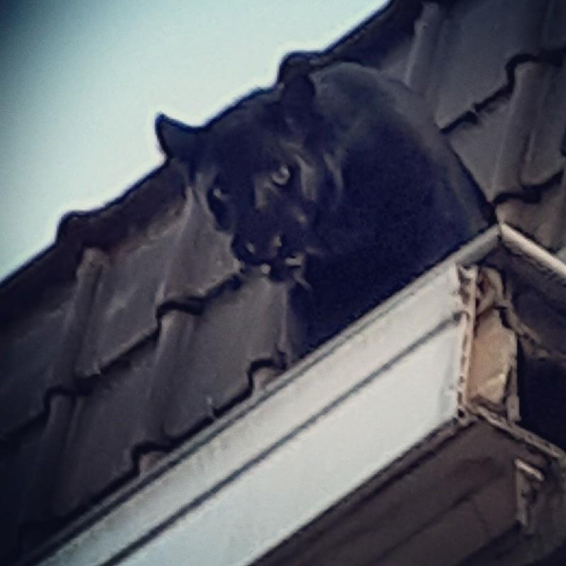 法國小鎮屋頂上驚見黑豹。(法新社)