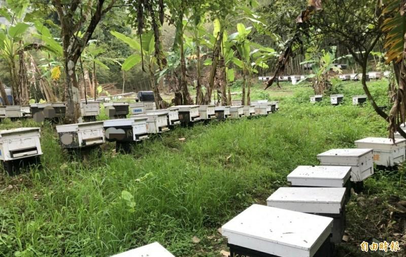 南投埔里第3年發生蜜蜂大量死亡事件,蜂農懷疑是檳榔農施放農藥造成,防檢局今日表示會加強查緝。圖為蜂箱放養蜜蜂採蜜。(資料照)