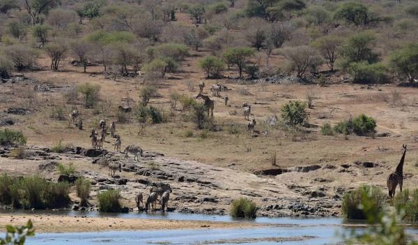 南非正面臨35年以來最嚴重的乾旱,克魯格國家公園為因應天災,聘請獵人殺害350隻河馬及水牛。(美聯社)