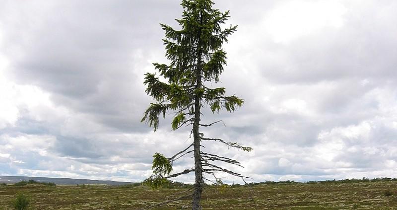 瑞典中部的菲呂山國家公園有一棵小樹,高度雖然只有5公尺,但卻是世界上最古老的樹,樹齡已超過9560歲。(圖擷自Sweden's national parks)