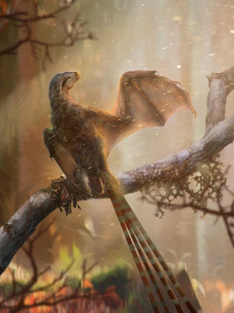 中國遼寧省發現了一種長著蝙蝠式翅膀的新恐龍化石,被命名為Ambopteryx longibrachium並歸類在擅攀鳥龍科裡。(路透)