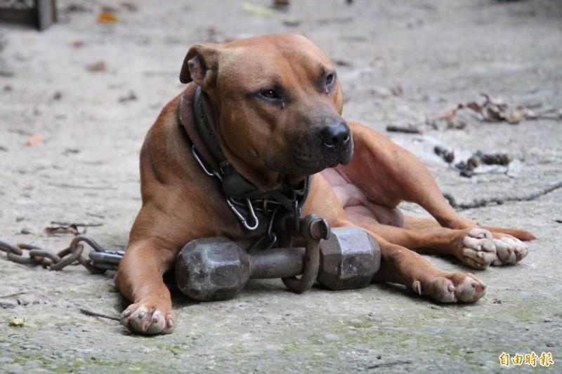 比特犬一向被認為是攻擊性高的犬種。此為比特犬示意圖,與本新聞無關。(資料照)