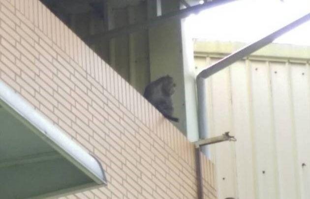 台灣獼猴潛入嘉義市南興路民宅,市府農牧科人員發射麻藥吹箭捕獲。(記者丁偉杰翻攝)