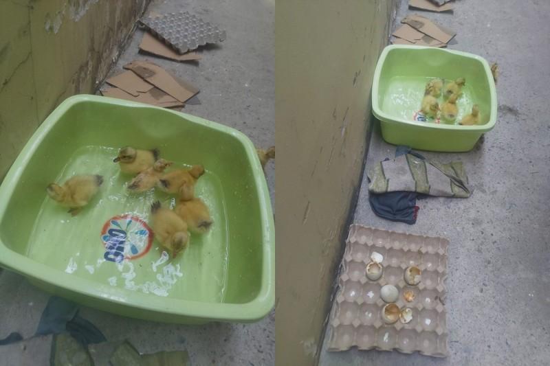 越南一名女性到市場買鴨仔蛋回家加菜,豈料放在廚房幾天後,竟有一堆黃色小鴨破殼而出。(圖擷取自Lưu Nhựt Nguyên@FB)