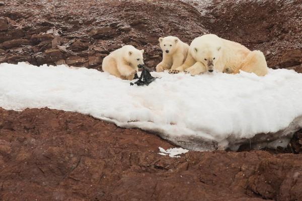 過一位英國攝影師之前到挪威攝影時,卻意外發現兩隻小北極熊將人類使用的廢棄膠袋當成玩具來玩,(圖擷自Kevin Morgans臉書)