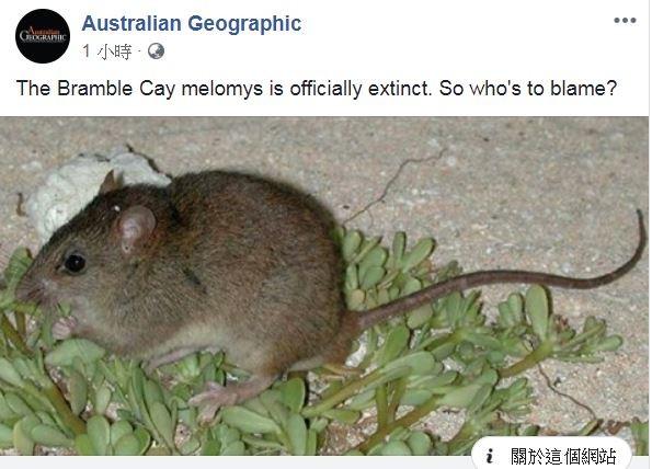 珊瑚裸尾鼠(圖)正式確認絕種。(圖擷自Australian Geographic臉書)