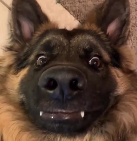 Max是一隻長毛德國牧羊犬。(圖擷取自IG)