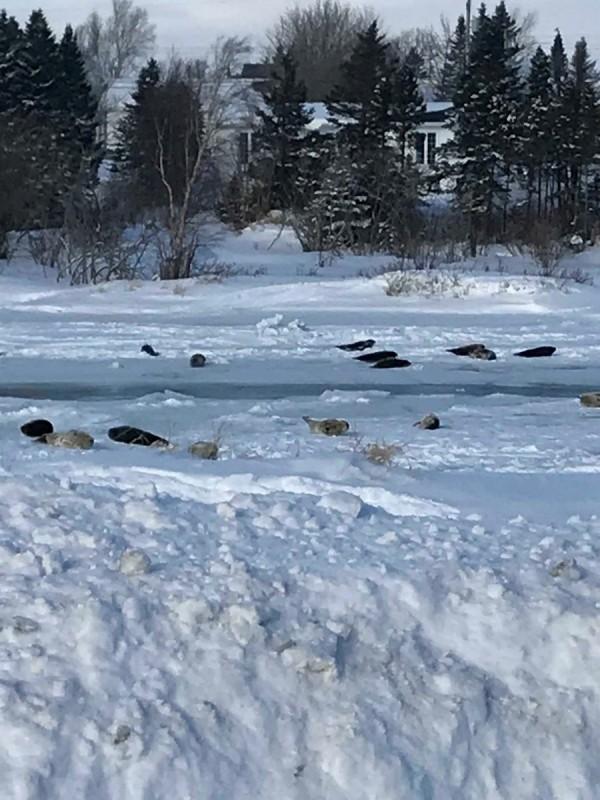 加拿大紐芬蘭與拉布拉多省小鎮羅迪克頓,有海豹群似乎迷失了方向,在城鎮裡到處滑來滑去。(路透)