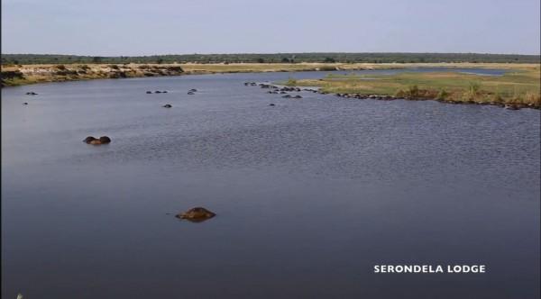 非洲波札那約400頭水牛疑為躲避獅群追捕溺斃河中。(圖擷自「Serondela Lodge」臉書)