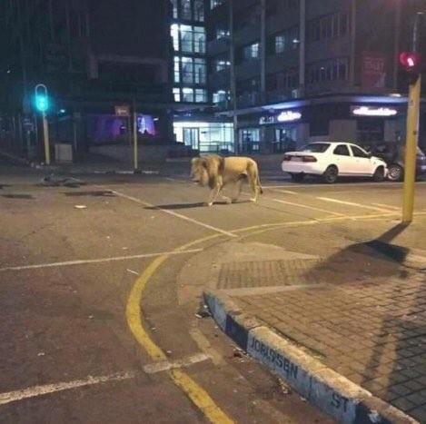 日本熊本於今年4月14日發生第一波強震,當時曾有名男子在推特指稱,有獅子從動物園逃脫。(圖擷自推特)