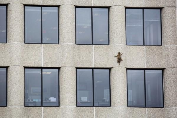 小浣熊這這樣徒手攀爬大樓外牆。(美聯社)