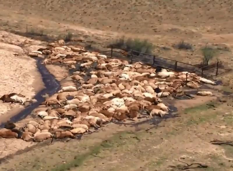 數以十萬計的牛隻苦苦撐過創紀錄酷暑,卻在接踵而來的百年大洪災中喪生。(擷取自推特)
