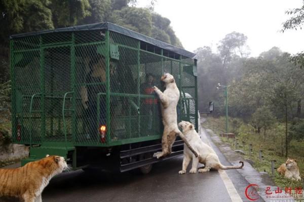重慶一家野生動物園推出危險的餵食遊覽車。(圖擷取自網易新聞)