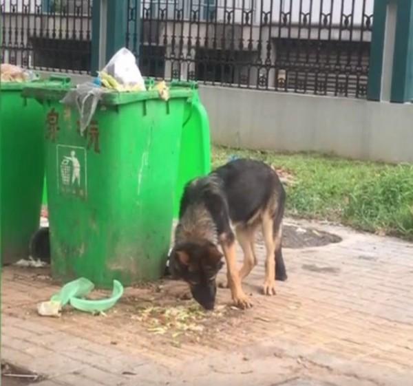 應姓女子和丈夫在路上看到一隻德國牧羊犬在翻垃圾找食物,誤以為是流浪狗,將牠帶回家暫時照顧,沒想到幾天後警方上門說他們偷了警犬。(圖擷取自Youtube)