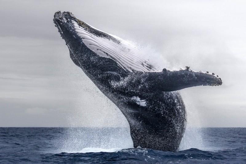 加拿大眾議院三讀通過「S-203法案」,除了科學研究目的、野生海洋動物的救援與治療,禁止圈養鯨魚、海豚等海洋哺乳類動物,也代表今後這類動物將會在加拿大的水族館、動物園及樂園中絕跡。(中央社)
