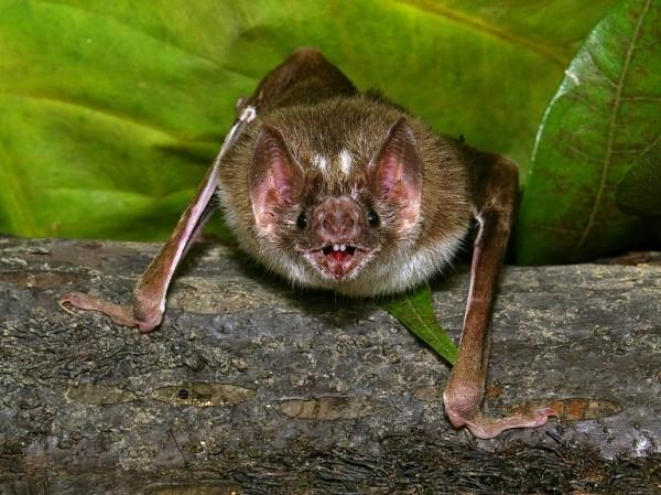 科學家在一隻中國蝙蝠的肝臟內發現類伊波拉病毒,且確定能感染包含人類在內的多種哺乳動物。(法新社資料照)