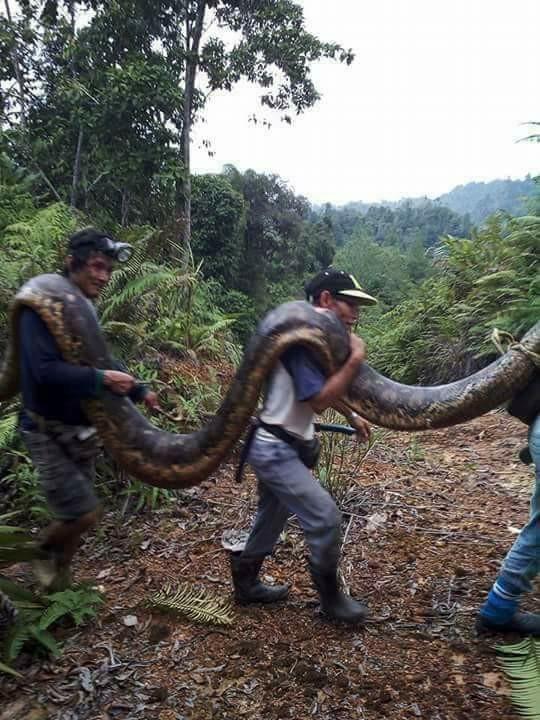 蟒蛇需要多名村民合力抬出。(圖擷取自鏡報)